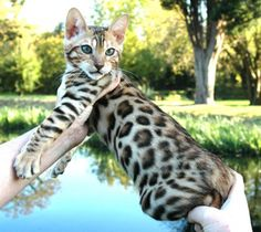 bengal cat. what a doll!