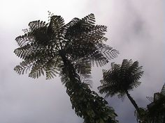 Tree Ferns - Mt Scenery - island of Saba
