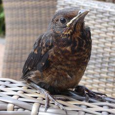 Das Amselküken ist vom letzten Jahr. Aber es geht schon wieder los im Garten. #vogel #küken #amsel #schwarzdrossel #blackbird