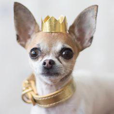 Chihuahuas rule ♡