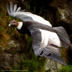 Birds of Patagonia Raptor Bird Of Prey, Birds Of Prey, Farm Animals, Animals And Pets, Andean Condor, Reptiles, Kinds Of Birds, Big Bird, Cutest Animals