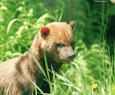 BUSH DOG (Speothos venaticus)  -  ©Ralf Schmode    Bush Dogs have squat bodies, short legs, short bushy tails, round ears, and muzzles. They also have webbed feet, which is an adaptation for living near water. Their heads and necks are reddish. The rest of their bodies are brown and become darker towards the tail.    This rare species has a range that extends from Panama all the way down to northern Argentina. Its habitat includes lowland forests, semi-deciduous forests, seasonally flooded…