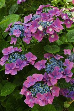 ~Hydrangea macrophylla 'Twylight' I don't have this lace cap hydrangea, but the three hydrangeas I planted are this amazing purple/blue color
