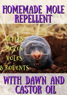 Learn how to get rid of ground moles with dawn soap and castor oil. This easy recipe will deter moles, voles, gophers and rodents naturally. Mole Removal Yard, Moles In Yard, Getting Rid Of Gophers, Mole Holes, Mole Repellent, Insect Repellent, How To Kill Grass, Insecticide, Natural Mosquito Repellant