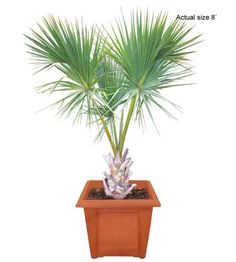 Medium Cabbage Palm Tree Sabal palmetto - Real Palm Trees Buy Palm Trees and Plants - Buy Plants Online at RealPalmTrees.com RealBonsaiTrees.com or RealOrnamentals.com #PalmTreeGifts #DIY2015 #BonsaiTrees #MiamiBonsai #big #2015PlantIdeas #Summer2015Plants #Ideas #BeautifulPlant #DIYPlants #OutdoorLiving #decoratingareasideas