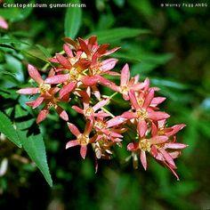 Ceratopetalum gummiferum (NSW Christmas Bush) 8 x full sun Australian Plants, Landscape Plans, Landscaping Plants, Botanical Art, Native Plants, Garden Inspiration, Habitats, Nativity, Flora