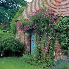 Veilchenblau (Rambling Rose) | Roses | Peter Beales Roses - the World Leaders in Shrub, Climbing, Rambling and Standard Classic Roses