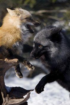 red fox + silver fox