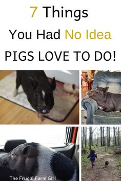 Check out these seven things pigs love to do. I love seeing pigs in water! #minipigs #pigs #potbelly