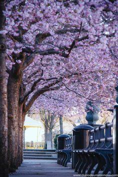 CEREJEIRAS EM ESTOCOLMO: um dos auges da primavera na capital da Escandinávia.