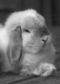 Benny the Mini Lop by robwrightphotography, via Flickr