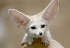 Fennel Fox! Aww it's so cute and happy! It looks like a chihuahua!