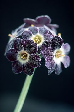 Sabina Rüber - Photographer; Primula auricula 'Starling'