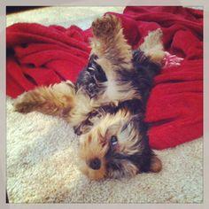 Yorkshire Terrier -.-