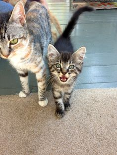 Cute kitten meows for attention next to mom