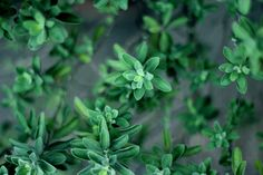 GROWING HERBS for BEGINNERS.herbs are wonderful to grow at home on your windowsill or in a small garden; the freshness of homegrown herbs is hard to beat! Growing Lavender, Growing Herbs, Cool Plants, Green Plants, Ruta Graveolens, Camomille Romaine, Ayurvedic Herbs, Ayurveda, Health