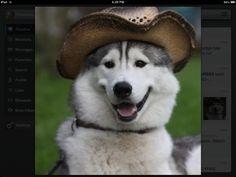 Cowboy Husky