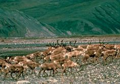reindeer: caribou migrating, Brooks Range, Alaska, U.S. [Credit: U.S. Fish and Wildlife Service] The Prudhoe Bay region, on the coastal plain (North Slope) at the northern base of the range, has vast reserves of oil. To the west of it is the National Petroleum Reserve of Alaska, which covers some 36,700 square miles (95,000 square km) of plains and mountains in northern and western Alaska. The Trans-Alaska Pipeline crosses the range