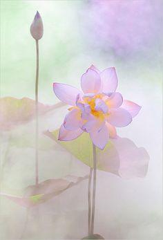 Lotus Flower Surreal Series - DD0A2408-1-1000 | Flickr - Photo Sharing! Lotus Flower Art, Macro Flower, Lotus Artwork, Watercolor Lotus, Lotus Painting, Water Lilies, Cute Art, Flower Power, Surrealism