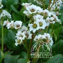 bergenia bressingham white - Google Search