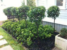 Gorgeous topiary port wine magnolias with gardenias and black mondo underneath