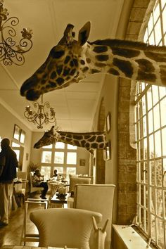 The Place Where You Can Breakfast With Giraffes. (They're sticking their heads through the windows, not mounted on the walls.) at Giraffe Manor on the outskirts of Nairobi, in Kenya.
