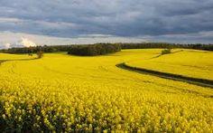 Výsledek obrázku pro photos of fields of flowers in Czech Republic