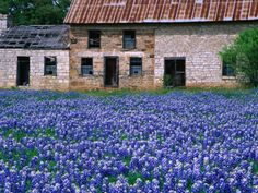 Field of Blubonnets, Marble Hill Area, Texas, USA