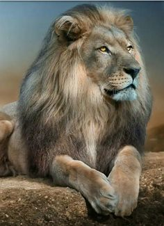 Lions in Love Wallpaper Big Cats Animals Wallpapers) – Wallpapers Wild Animal Wallpaper, Lion Wallpaper, Beautiful Lion, Animals Beautiful, Tiger Pictures, Animal Pictures, Animals And Pets, Cute Animals, Lion Photography