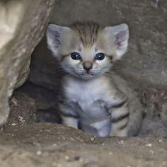 Israel sand cat kitten