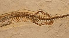 Four-legged snake fossil stuns scientists—and ignites controversy | Science/AAAS | News