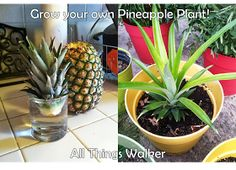 All Things Walker: Grow your own Pineapple