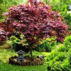Shop Japanese Maple Trees, available online in all colors and sizes. We carry the most popular Japanese Maple varieties, and only stock top quality trees. Small Garden Nooks, Small Gardens, Outdoor Gardens, Bloodgood Maple, Bloodgood Japanese Maple, Japanese Red Maple Tree, Trees For Front Yard, Front Yards, Fast Growing Trees