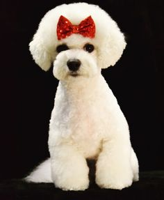 Angel at Grande Style Pet Dog Grooming in Tampa Grooming Salon, Pet Grooming, Poodle Hairstyles, Pet Dogs, Pets, Small Dogs, Teddy Bear, Angel, Face