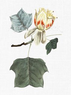 Botanical Illustration 'Tulip Tree' Flower Clipart by AntiqueStock