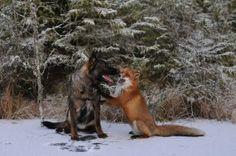 Fox and dog meet in the woods, form adorable friendship Real life Fox and the Hound. Fox and dog meet in the woods, form adorable friendship. Animal Memes, Funny Animals, Cute Animals, Animal Pics, Fox Dog, Dog Cat, Photo Animaliere, Unlikely Friends, The Fox And The Hound