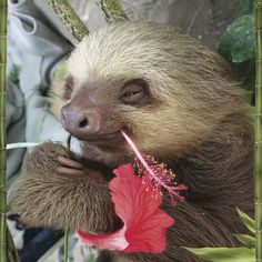 Beat the Winter Blues With Some Pictures of Sloths. Beat the Winter Blues With Some Pictures of Sloths. Funny Sloth Pictures, Pictures Of Sloths, Funny Animal Quotes, Animal Pictures, Cute Baby Sloths, Cute Baby Animals, Funny Animals, Two Toed Sloth, Sloth Tattoo