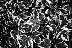 Leaves b&w