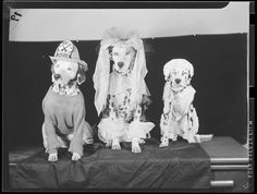 File name: 08_06_018902 Title: Dogs (dressed up) Creator/Contributor: Jones, Leslie, 1886-1967 (photographer) Date created: 1934 - 1956 (approximate) Physical description: 1 negative : film, black & white ; 3 1/8 x 4 1/4 in. Genre: Film negatives Subject: Dogs; Costumes; Fire helmets Notes: Title from information provided by Leslie Jones or the Boston Public Library on the negative or negative sleeve.; Date supplied by cataloger. Collection: Leslie Jones Collection Location: Boston Public…