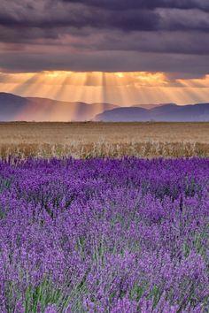 tidalwav-es: ponderation: Sunbeams over Lavender by Michael Blanchette x