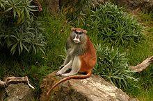 Patas Monkey Jr.jpg