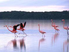 Saw the flamingo migration at Celestun, Yucatan Mexico