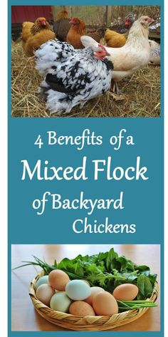 4 Benefits of a Mixed Flock of Backyard Chickens. Unless you are going to breed them, you're really better off with a mixed flock! Read why. Love our little mixed flock 💕 Chicken Lady, Chicken Eggs, City Chicken, Chicken Breeds For Eggs, Chickens And Roosters, Pet Chickens, Cochin Chickens, Keeping Chickens, Raising Chickens