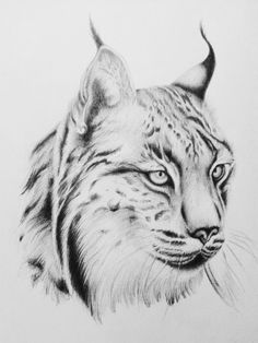 Resultado de imagen de lince iberico dibujo a lapiz beautiful cutest funny wild basteln lustig zeichnen Animal Sketches, Animal Drawings, Pencil Drawings, Big Cats Art, Cat Art, Cat Drawing, Drawing Sketches, Art Graphique, Cat Tattoo