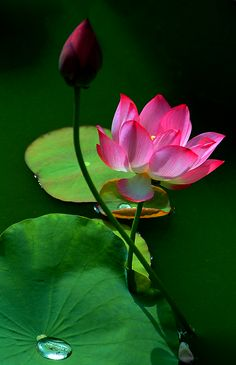 Photo Flower Images, Flower Pictures, Blossom Flower, Flower Art, Amazing Flowers, Beautiful Flowers, Trees To Plant, Plant Leaves, Lotus Painting