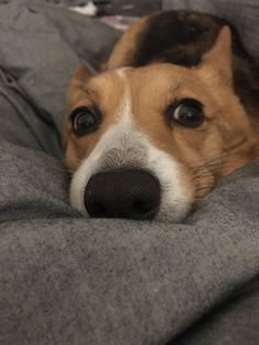 Are you interested in a Beagle? Well, the Beagle is one of the few popular dogs that will adapt much faster to any home. Corgi Funny, Corgi Dog, Pet Dogs, Doggies, Cute Little Puppies, Cute Puppies, Dogs And Puppies, Fluffy Corgi, Dog Day Afternoon