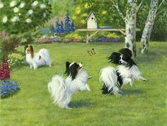 Beautiful papillon image!