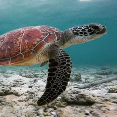 Swimming with hundreds of turtles on Maratua island, part of the Derawan islands is a Magical Experience