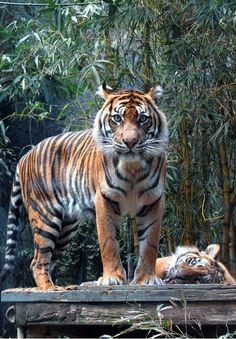 Sumatran Tigerbymyopixia