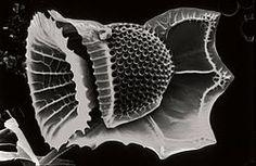 CSIRO ScienceImage 4847 SEM dinoflagellate.jpg